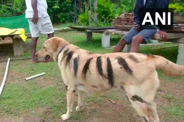 Indian farmer Srikanth Gowda painted his pet dog Bulbul with black stripes to protect his coffee crop.