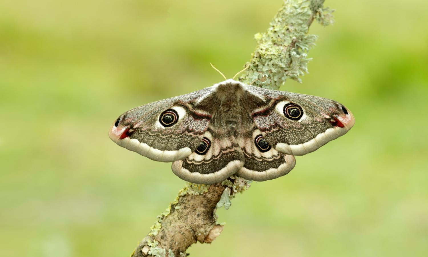 This is how noise-cancelling scales in moths help them evade bats - Wink Report